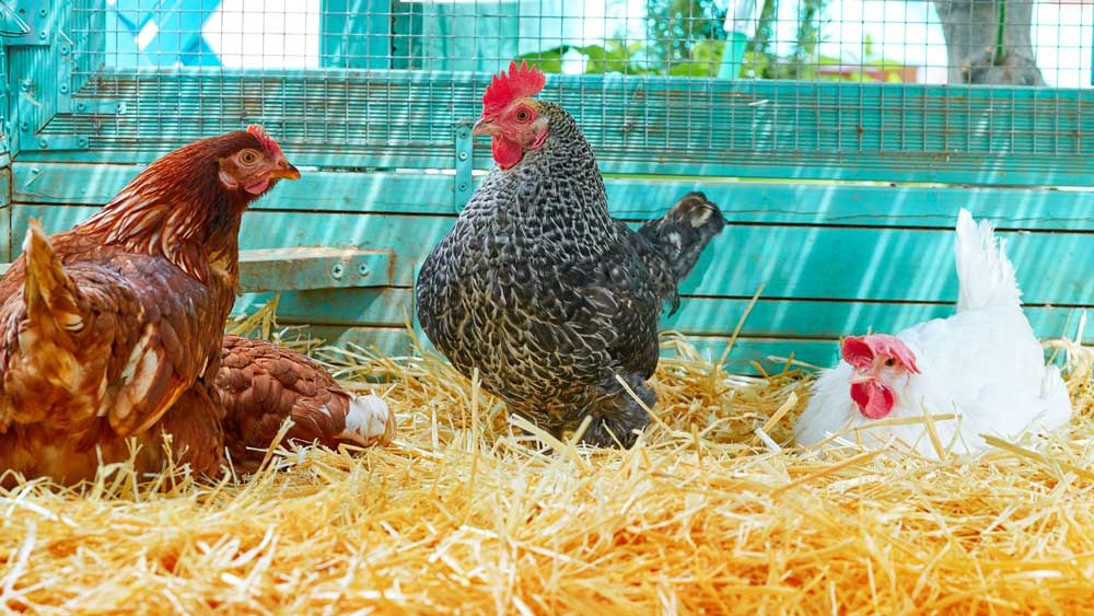 Chickens love sun and straw
