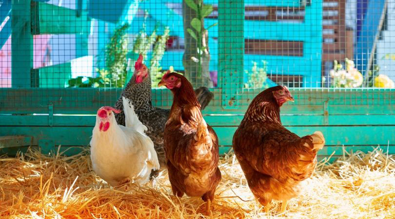 Complete chicken parasite guide including coccidia, red mites, round worm and more