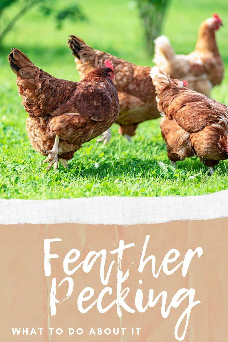 Feather pecking and what to do about it. See the signs