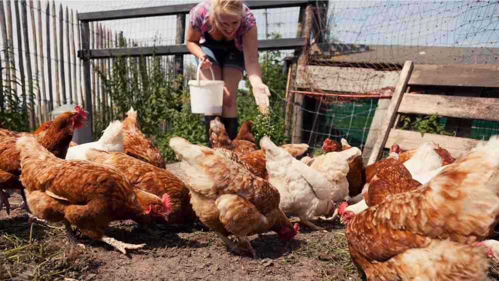 How to help flighty chickens