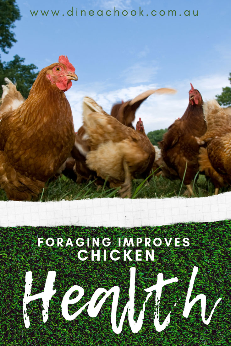 Foraging improves Chicken Health