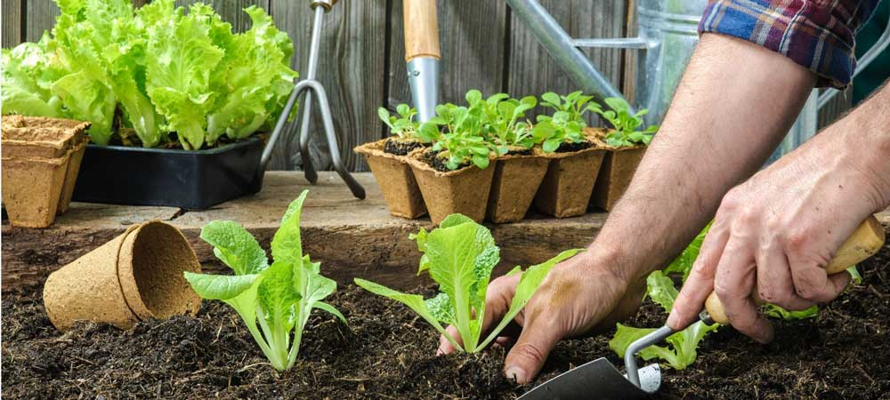How to make chicken manure into fertiliser for your garden