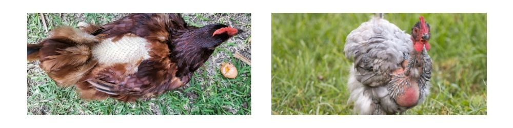 Moulting Chickens - Copyright Dine A Chook