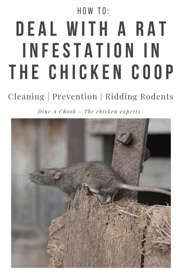 Rats in the chicken coop? Here's what you need to do