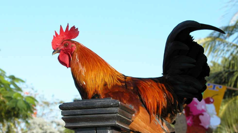 Benefits of a rooster in your chicken flock