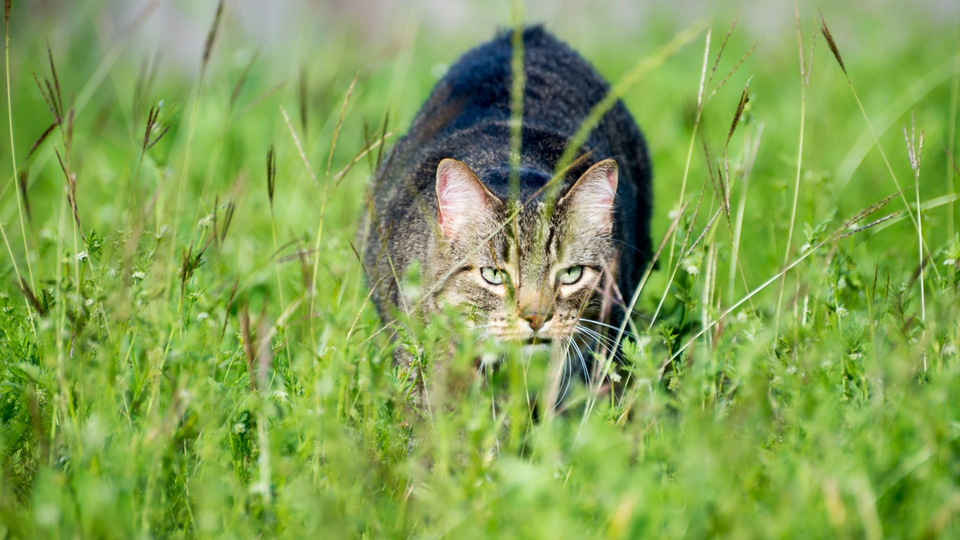 Are cats a threat to chickens?